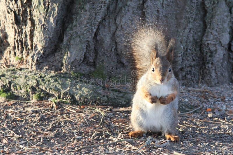 Uno scoiattolo carino con una pelliccia spessa immagine stock