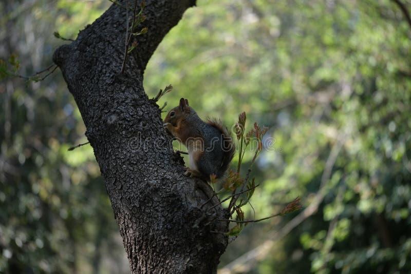 Uno scoiattolo che si siede in un albero che mangia una nocciola di scimmia immagini stock libere da diritti