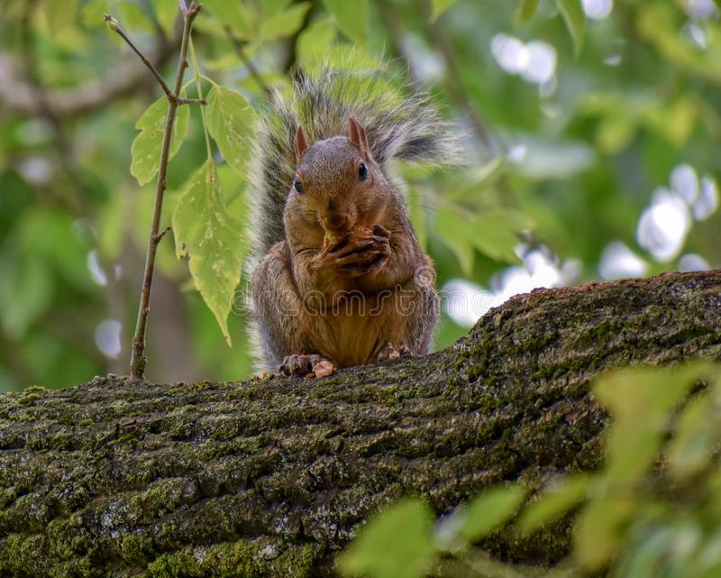 Uno scoiattolo con un dado fotografia stock libera da diritti