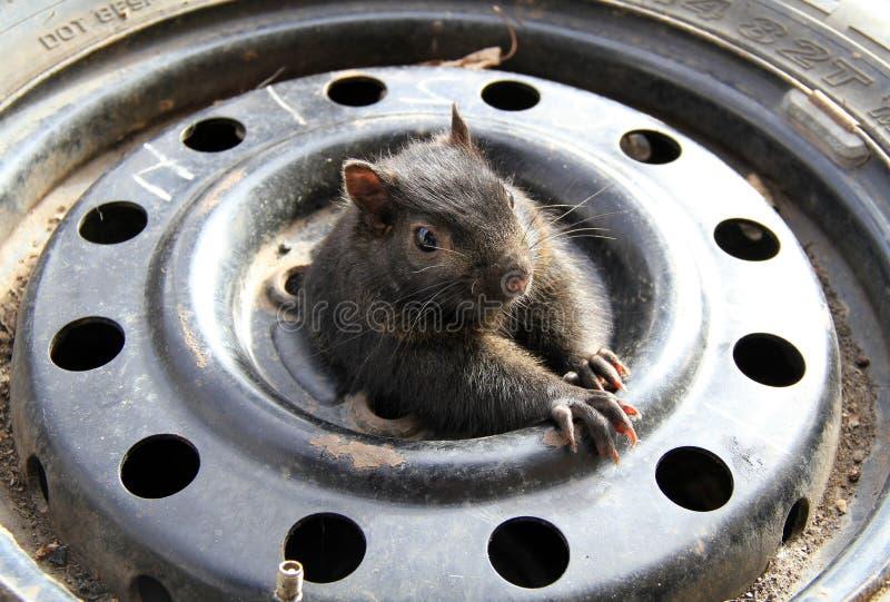 Uno scoiattolo dentro una gomma fotografia stock libera da diritti