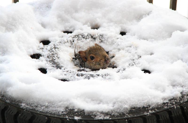 Uno scoiattolo dentro una gomma immagini stock