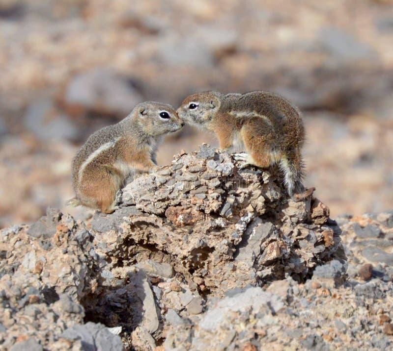 Uno scoiattolo di antilope dalla coda bianca fotografia stock libera da diritti