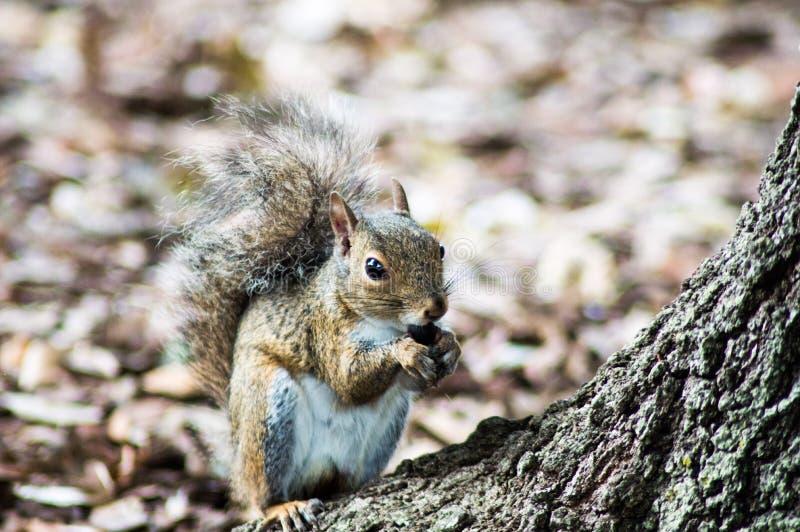 Uno scoiattolo e un it& x27; dado di s fotografie stock