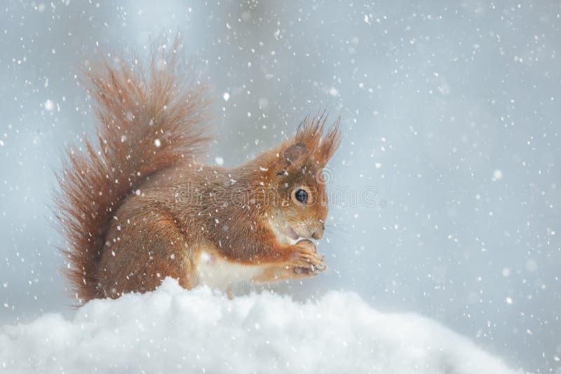 Uno scoiattolo rosso nel turbine di neve di neve di inverno immagine stock