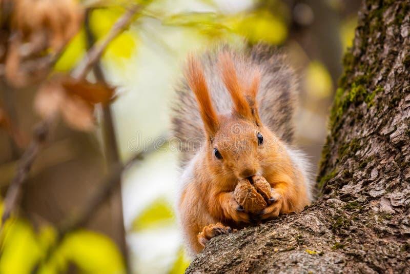 Uno scoiattolo selvaggio catturato in un giorno soleggiato freddo di autunno, scoiattolo sveglio divertente ? sull'albero nel par fotografia stock libera da diritti