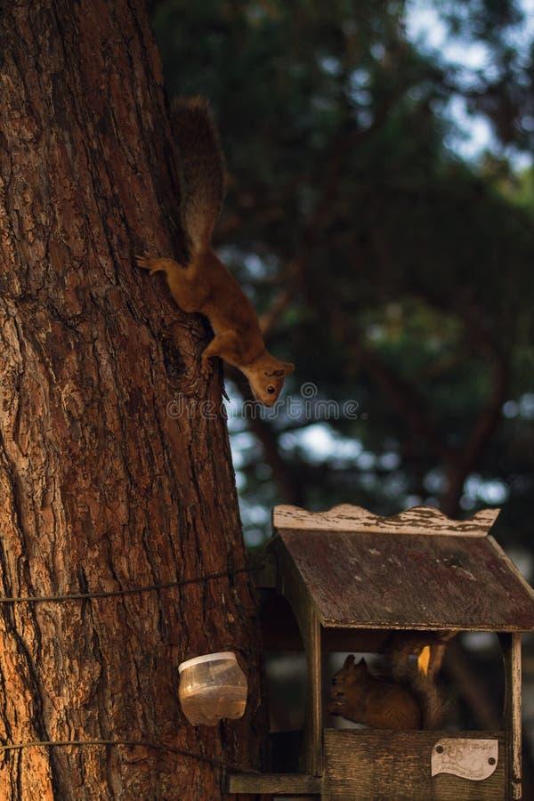 Uno scoiattolo sveglio e lanuginoso fotografia stock