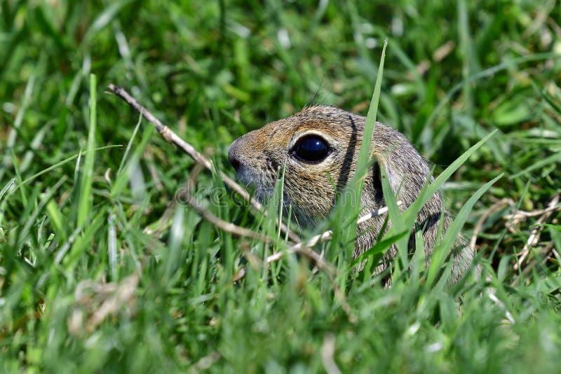 Uno scoiattolo a terra curioso fotografia stock libera da diritti