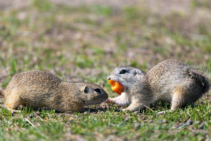 Uno scoiattolo a terra europeo selvaggio fotografia stock libera da diritti