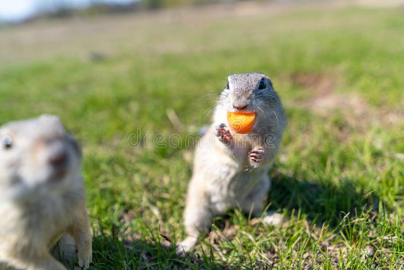 Uno scoiattolo a terra europeo selvaggio fotografia stock