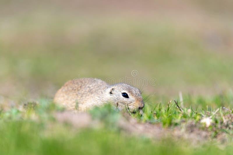 Uno scoiattolo a terra europeo selvaggio immagine stock
