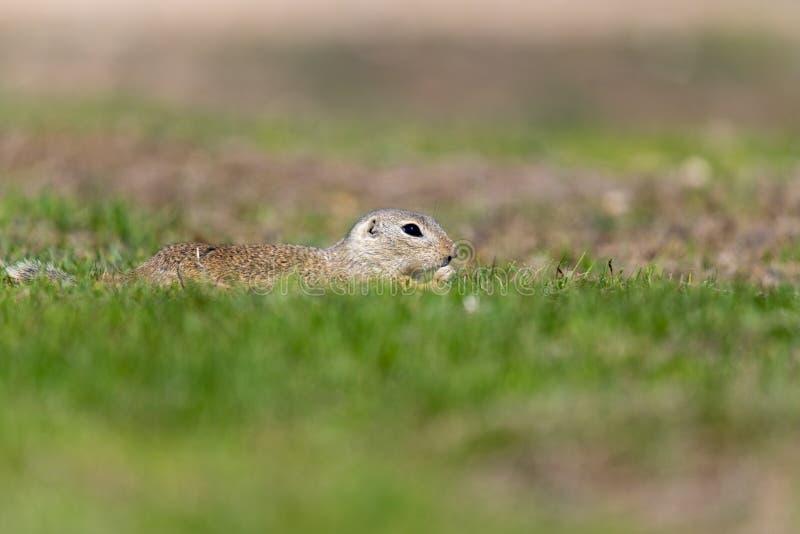 Uno scoiattolo a terra europeo selvaggio fotografie stock