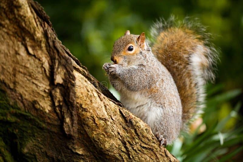 Uno scoiattolo a terra grigio su un ramo che mangia, fondo vago immagine stock