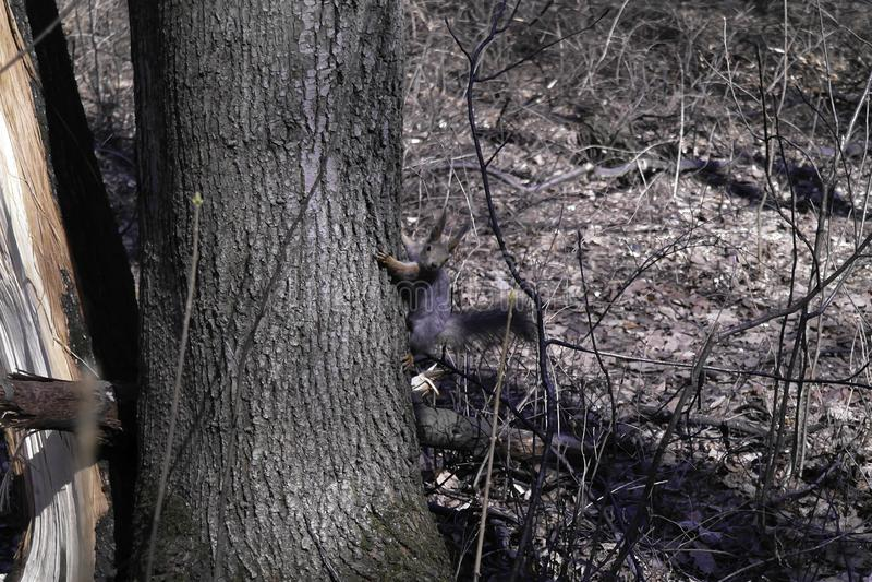 Uno scoiattolo in una foresta fotografie stock libere da diritti