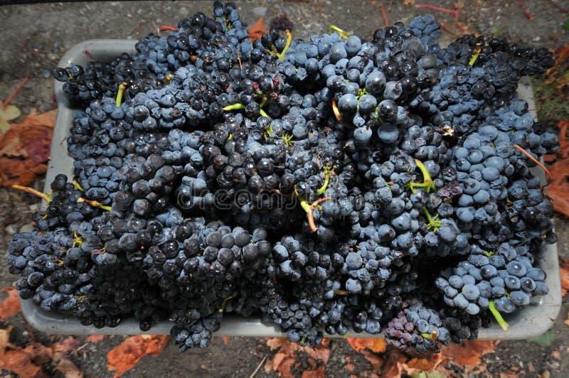 Uno scomparto dell'uva selezionata fresca immagine stock
