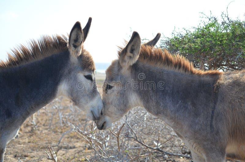 Uno sguardo agli asini romantici che stringono a sé in Aruba fotografia stock libera da diritti