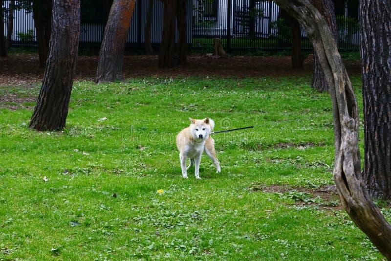 Uno Shiba Inu fuori dello zoo di Sapporo Maruyama fotografie stock libere da diritti
