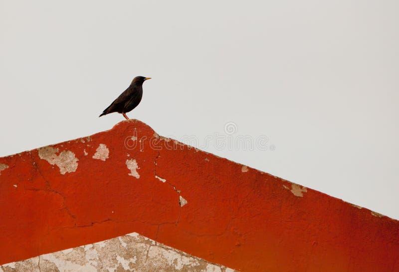 Uno Starling senza macchia su un tetto fotografia stock libera da diritti
