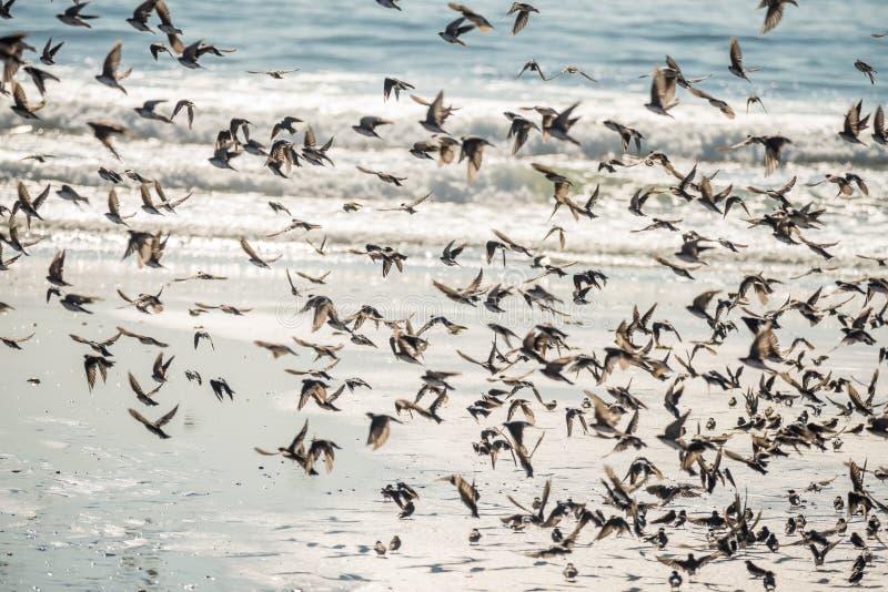 Uno stormo degli uccelli del primo piano dei sorsi in volo sopra le onde dell'oceano fotografia stock
