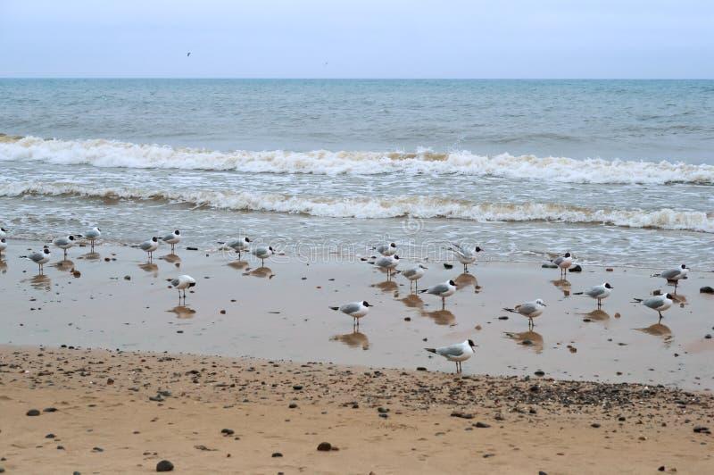 Uno stormo degli uccelli sulla spiaggia, gabbiani in tempo nuvoloso fotografia stock