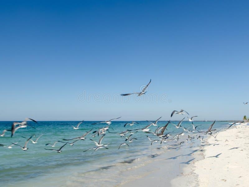 Uno stormo dei gabbiani che volano intorno alla spiaggia fotografie stock libere da diritti