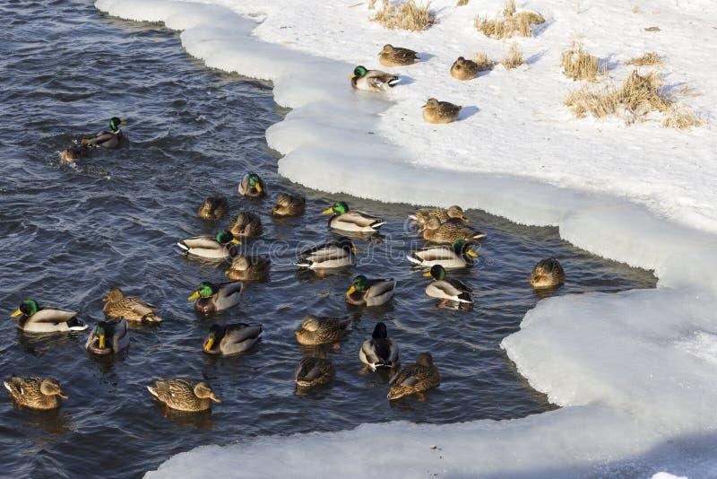 Uno stormo delle anatre selvatiche nel fiume di inverno fotografia stock libera da diritti