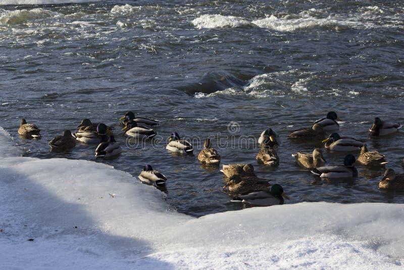 Uno stormo delle anatre selvatiche nel fiume di inverno fotografie stock