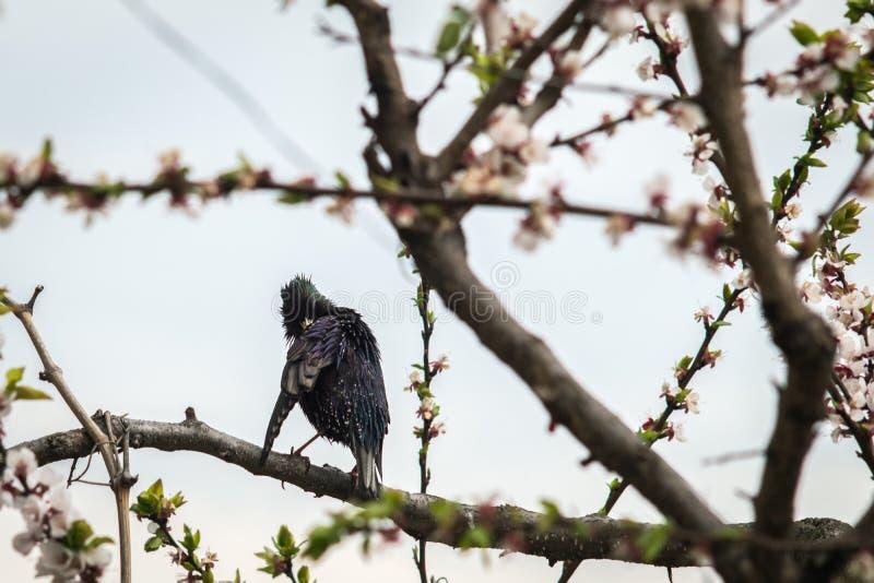 Uno storno dell'uccello su un albero di fioritura pulisce le piume fotografie stock libere da diritti