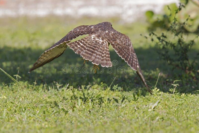 Uno striatus tagliente-shinned del Accipiter del falco che decolla da un prato un giorno caldo in Florida fotografia stock libera da diritti