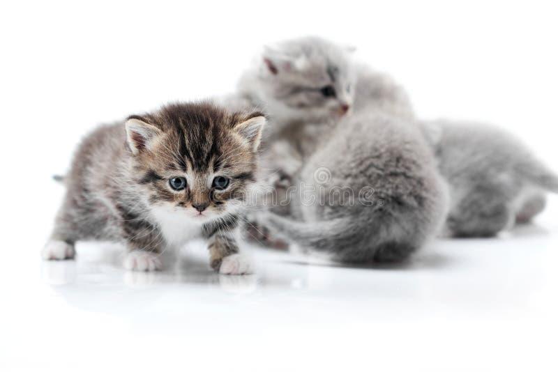 Uno studio bianco d'esplorazione della foto del piccolo gattino curioso divertente mentre altri che giocano dietro hanno isolato  fotografie stock libere da diritti