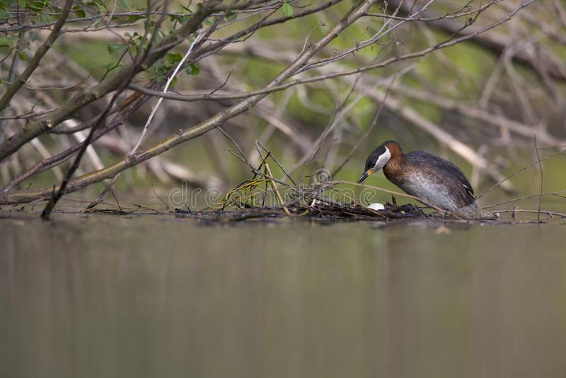 Uno svasso dal collo rosso adulto che scala sul suo nido di galleggiamento in uno stagno della città nella capitale di Berlin Ger fotografie stock