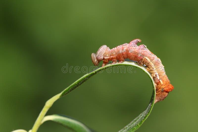Uno ziczac prominente di Caterpillar Notodonta del ciottolo sbalorditivo che si appollaia su una foglia del salice che sparge la  immagini stock