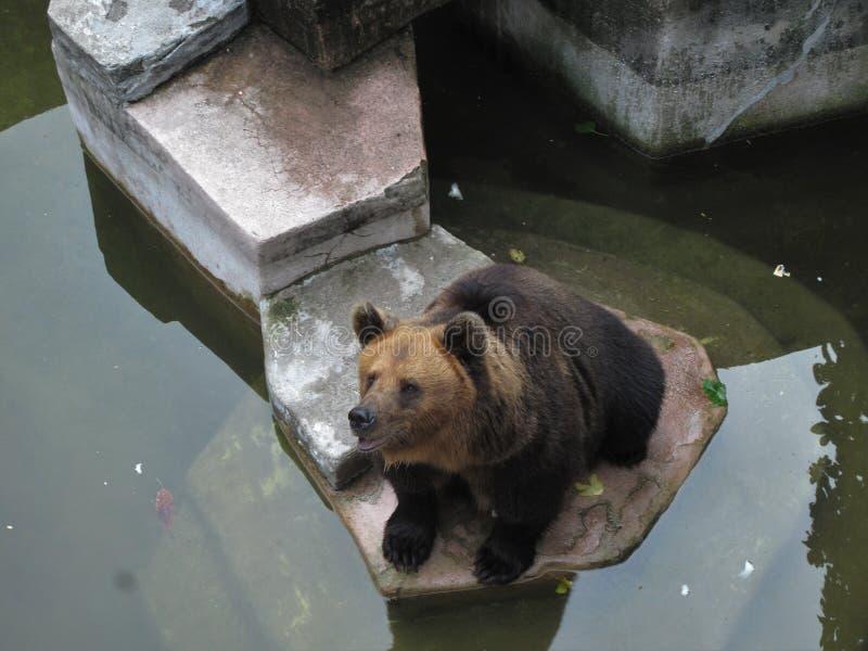 Uno zoo in Canton, orso bruno che si siede dall'acqua immagini stock