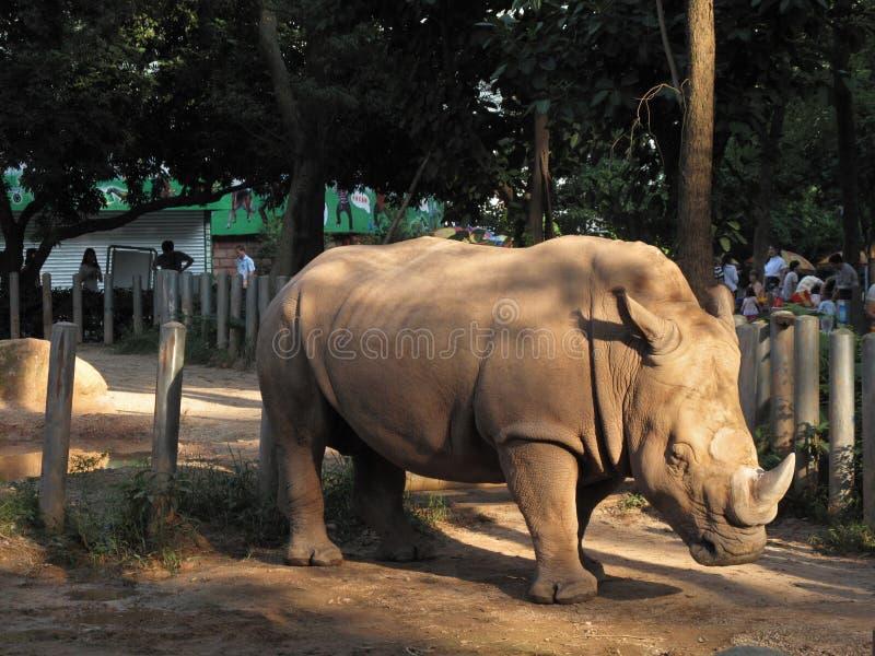 Uno zoo in Canton, rinoceronte cammina circa la gabbia immagine stock libera da diritti