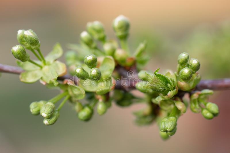 Unopened buds of trees closeup. Early spring, blooming leaves.  royalty free stock images