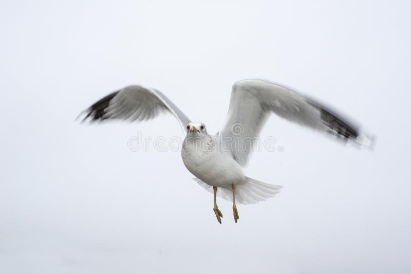 Unosić się frajerów ruchy zamazujących skrzydła fotografia royalty free