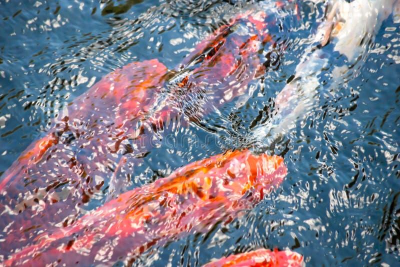 Unosić się w stawowej rybie różni kolory tworzy czochry na wodzie Odgórny widok fotografia stock