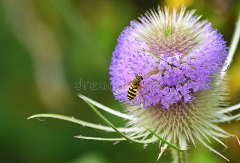 Unosi się - komarnicy na Dzikiego Teasel kwiacie zdjęcie royalty free