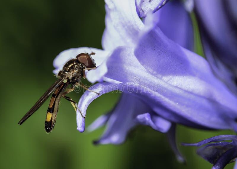 Unosi się komarnicy obsiadanie na Bluebell zdjęcie stock