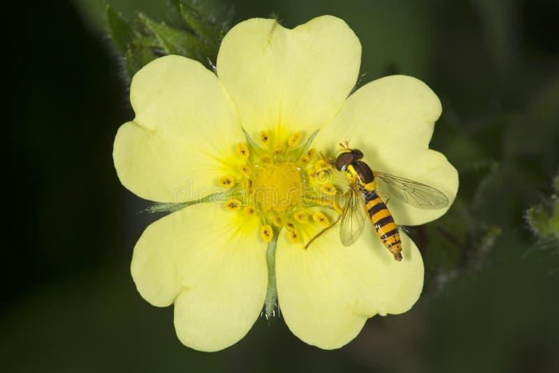 Unosi się komarnicy pszczoły mimiczny nectaring na pięciornika kwiacie, Vernon, Conn obraz stock
