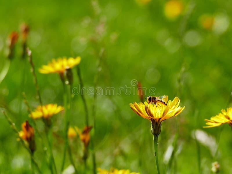 Unoszącej się komarnica przy odpoczynkiem zdjęcia royalty free