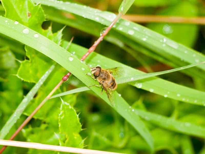 Unoszącej się komarnicy zakończenie up umieszczał na zielonego liścia mokrej podeszczowej wodzie obraz stock