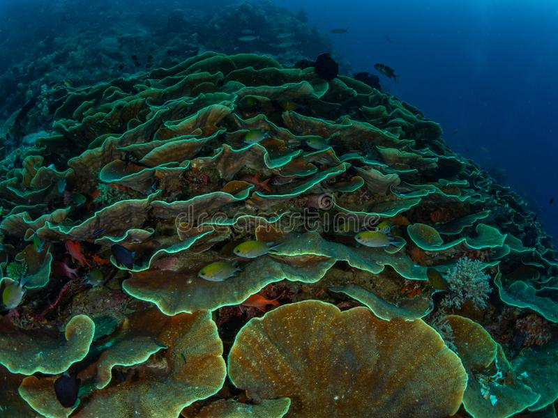 Unparalleled levels of marine diversity. Misool, Raja Ampat, Indonesia. The reefs in the Misool Marine Protected Area within Raja Ampat, Indonesia, are the royalty free stock images