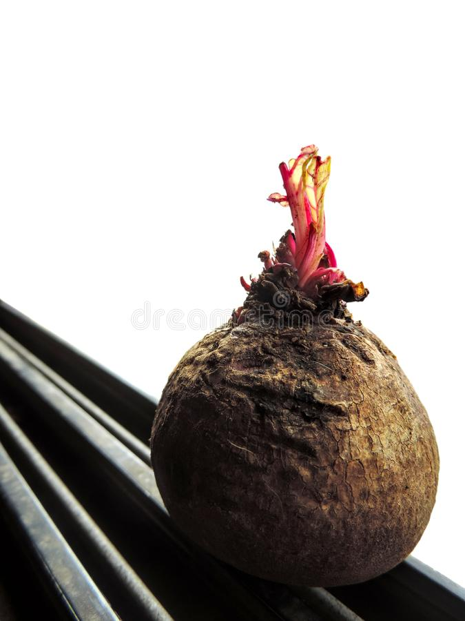 unpeeled beetroot taproot with brown outer layer with shoots growing on top, placed on a groovy black base stock photos