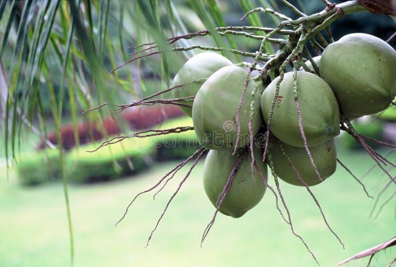 unplucked кокос бесплатная иллюстрация