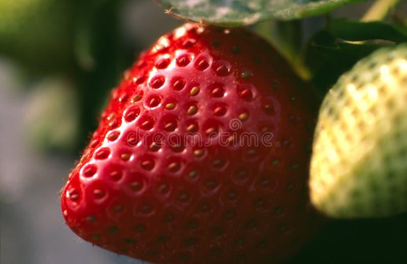 Unplucked Erdbeere stockbilder