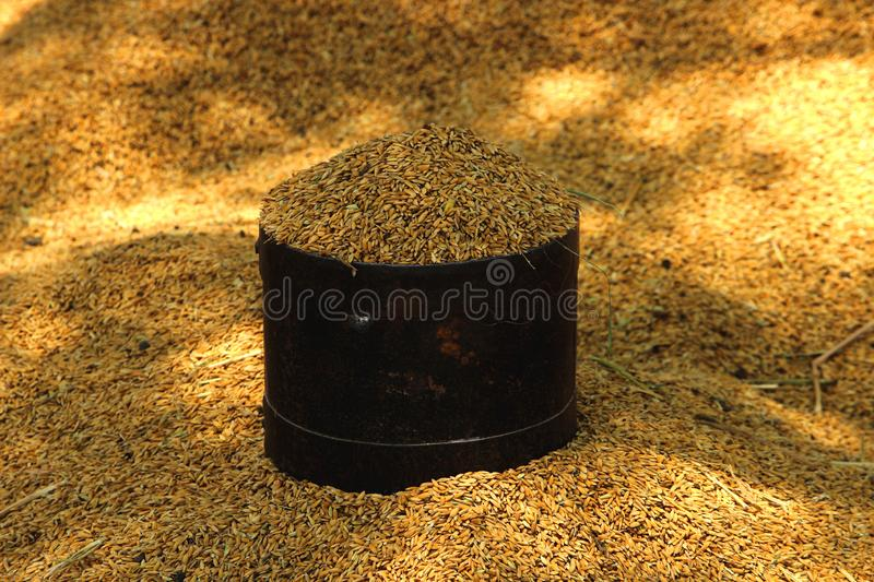 Unpolished Rice seed for measuring stock photos