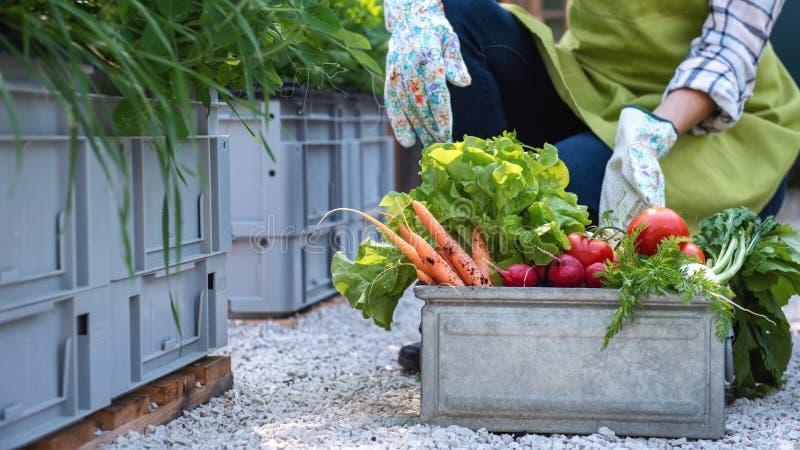 Unrecognisable żeńska średniorolna mienie skrzynka pełno świeżo zbierający warzywa w ona ogrodowa Wyprodukowany lokalnie życiorys zdjęcia royalty free