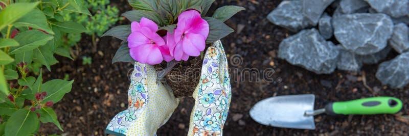 Unrecognisable weiblicher Gärtner, der eine blühende Pflanze bereit, in ihrem Garten gepflanzt zu werden hält Im Garten arbeitenk stockfoto
