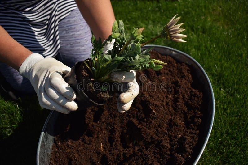 Unrecognisable weiblicher G?rtner, der sch?ne Blume bereit, in einem Garten gepflanzt zu werden h?lt lizenzfreie stockfotos