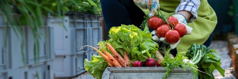 Unrecognisable weiblicher Landwirt, der Kiste voll von frisch ausgewähltem Gemüse in ihrem Garten hält Selbstgezogenes Bioerzeugn stockbild